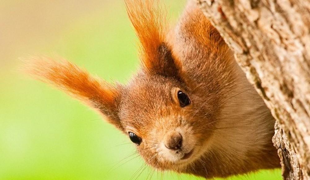 普通素描画动物松鼠